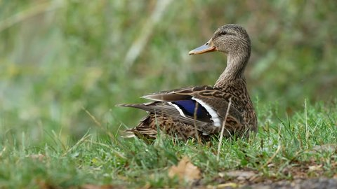 Mallard by water. Wild duck in grass. Summer lake and mallard.