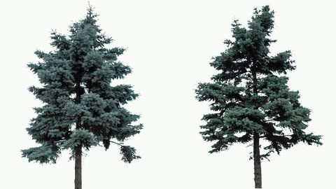 High quality 10bit footage of fir trees on the wind isolated on white background.  Made from 14bit RAW.