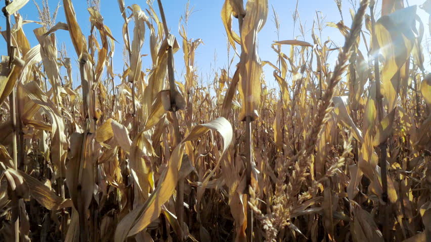 A corn maze or maize maze is a maze cut out of a corn field. The first corn maze was in Annville, Pennsylvania. Corn mazes have become popular tourist attractions in North America