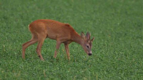 European roe deer (Capreolus capreolus) annoyed by parasites