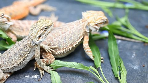 Lizard Agama - a common species of reptiles in Asia
