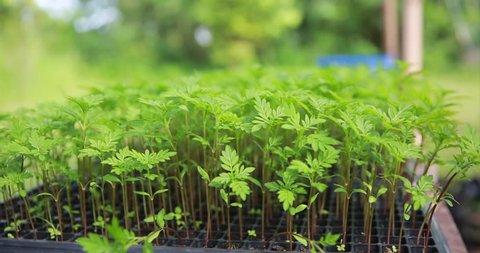 calendula seedling plant