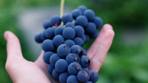 blue fresh grapes in the hand of the farmer.