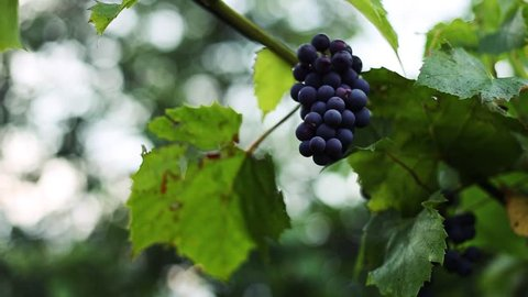 freshest blue grapes Malbec on the branch.
