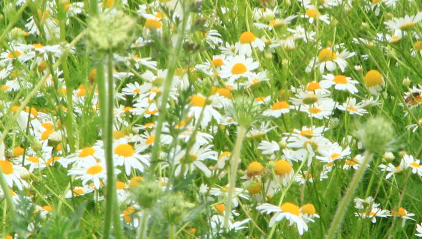 White chamomiles blossom in summer field. Beautiful white chamomiles. Chamomile flowers. White field flowers in summer closeup