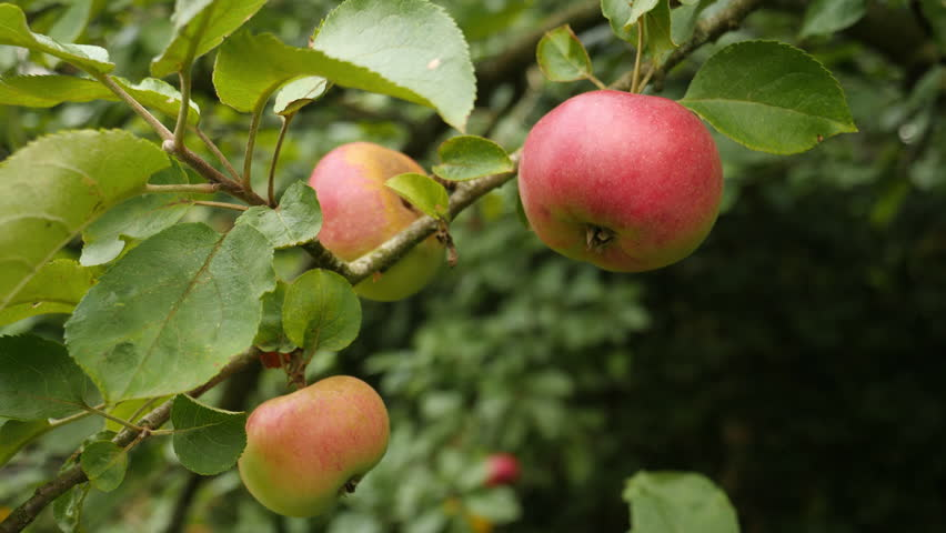 Ripe apples hanging from a tree.