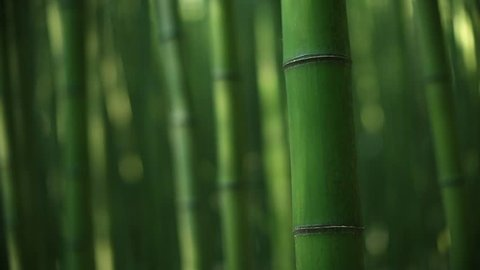 picture of bamboo forest