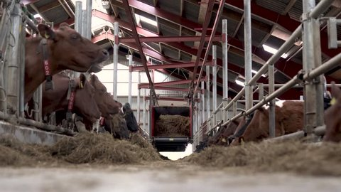 Brown cows feeding in barn stalls with machine giving feed