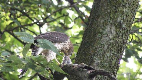 Cooper's hawk feeds on bird on a branch