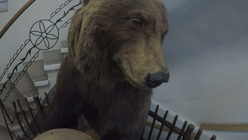 Brown Bear (Ursus arctos)  taxidermy displayed in the Tatra Museum in Zakopane, Poland.