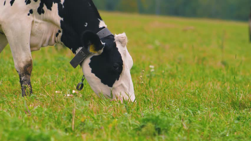 Herd of cows on pasture. Cows resting and relaxing in the meadow. | Shutterstock HD Video #1016422351