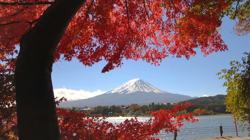 Colorful Autumn in Mount Fuji, Japan - Lake Kawaguchiko is one of the best places in Japan to enjoy Mount Fuji scenery of maple leaves changing color giving image of those leaves framing Mount Fuji. | Shutterstock HD Video #1016430301
