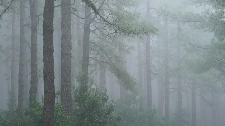 PINO CANARIO (Pinus canariensis),  , El Pilar, El Paso, La Palma, Canary Islands, Spain, Europe