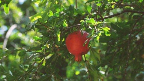 Branch of pomegranate tree. Autumn fruits. 4K