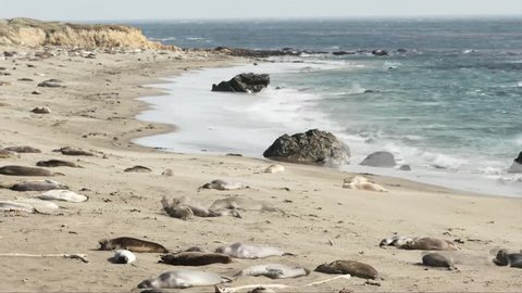 Time lapse- Thousands of Elephant Seals Along the Coast at Elephant Seal Beach Along Highway 1 in California
