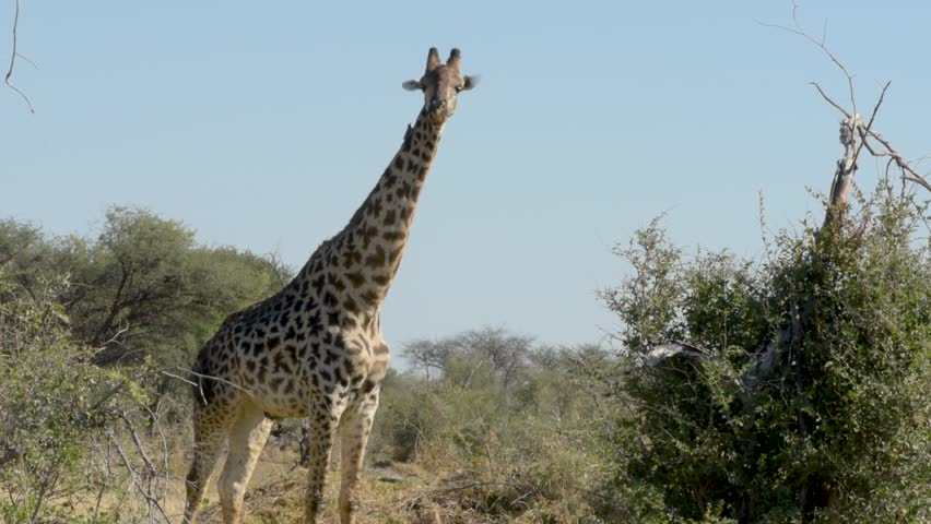 Masai Giraffe chewing cud during the middle of the African day