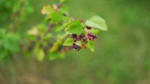 Slow motion of a blackcurrant bush
