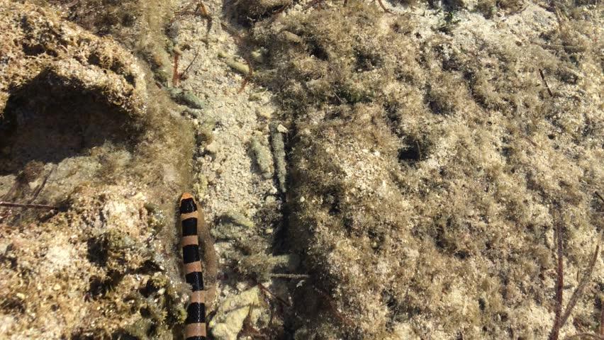 Snake Laticauda of New Caledonia swimming