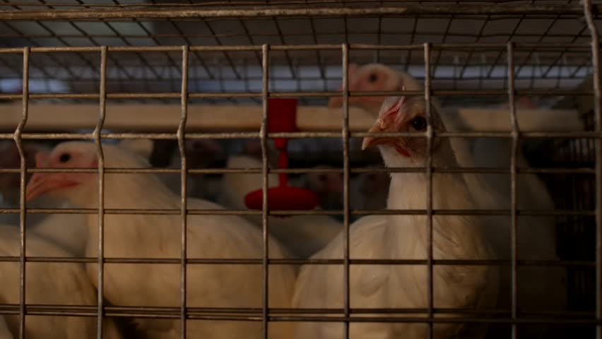 Breeding broiler chickens and chickens, broiler chickens sit behind bars in the hut, poultry house, avian