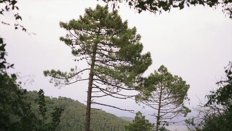 Two large pine trees. Mountain forest during Summer. Tuscany (Italy). Wind moves the foliage.