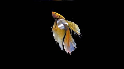 Vibrant and colourful Siamese fighting fish Betta splendens, also known as Thai Fighting Fish or betta, is a species in the gourami family which is popular as an aquarium fish in super slow motion