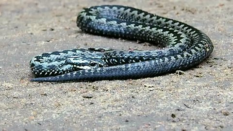 The wounded Venomous Viper is close. Vipera berus suffering.