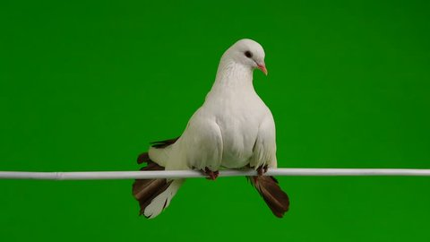 male white dove peacock isolated on a green screen as symbol of peace