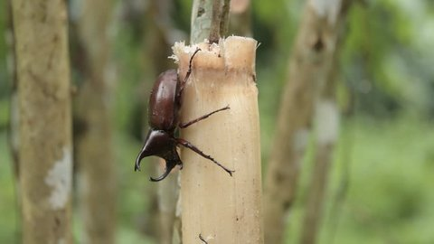 (rhinoceros beetle), The Siamese rhinoceros beetle (Xylotrupes gideon) or fighting beetle, It is particularly known for its role in insect fighting in Thailand. New trend of Awesome pets