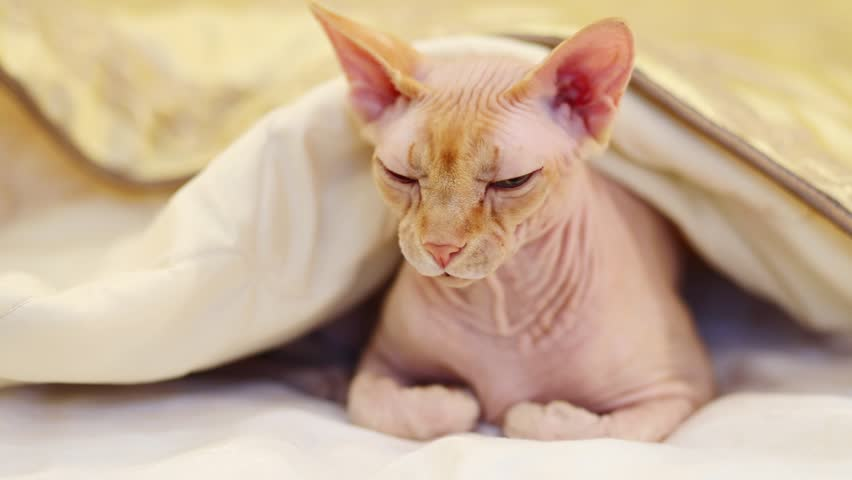 White sphinx cat lies under blanket on bed in room