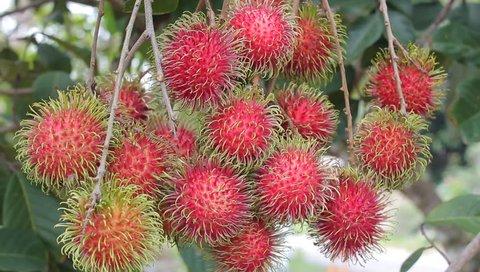 close up fresh rambutan at the tree.