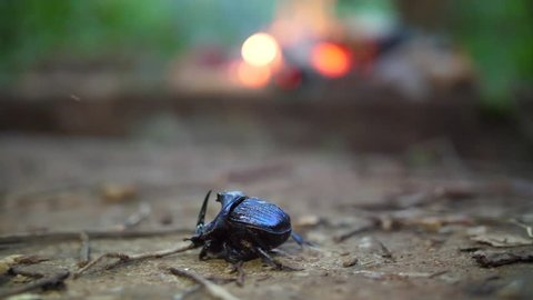 Blue rhinoceros beetle with firewood in background French Guiana amazonian forest