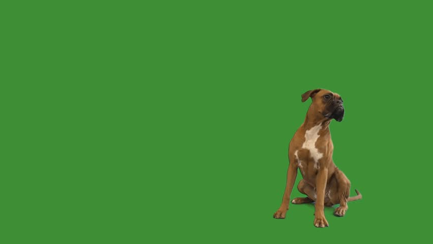 Funny boxer dog sitting and barking on a green screen