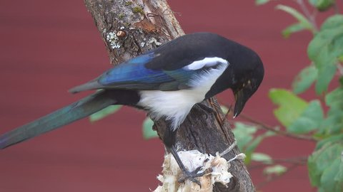 Eurasian or common magpie (Pica pica) sits on a branch and pecks bacon