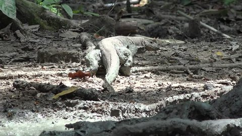 Water Monitor Lizard walk into lowland rainforest close up