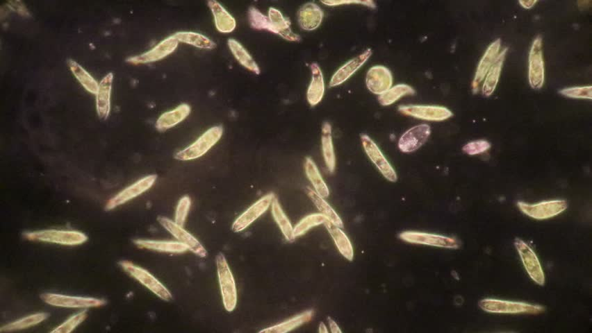 Euglena is a genus of single-celled flagellate Eukaryotes under microscopic view for education.
