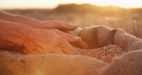 Hands of farmer touching and sifting wheat grains in a jute sack after good harvest. agriculture concept, closeup 4k