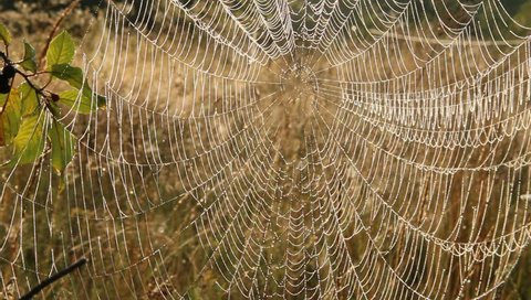 Plant is wrapped in wet web at dawn. Dew on cobweb. Summer flowers in web. House of spider living in summer field among grasses. Water droplets on cobweb