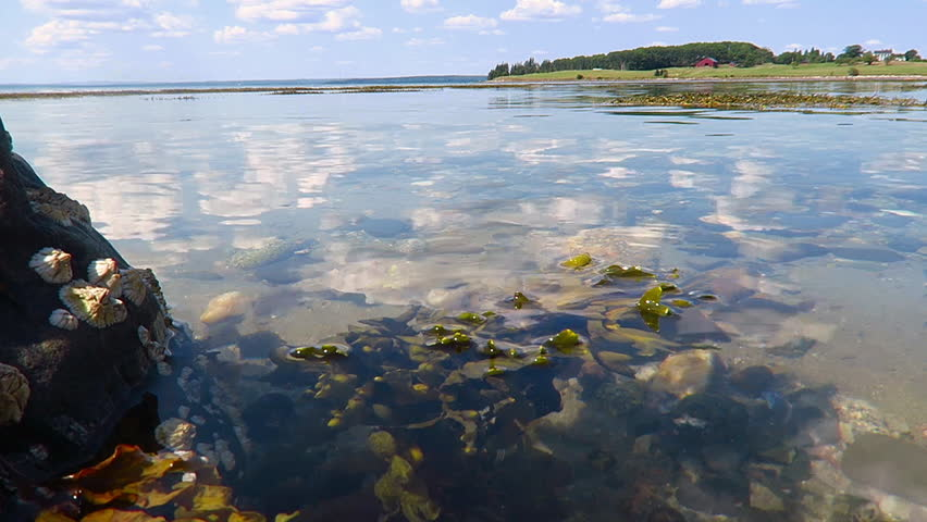 Close Up View of Maine Coastal Seaweed Floating with the Tide Near Rocks and Barnacles Beneath a Bright Sky of Clouds and Sun