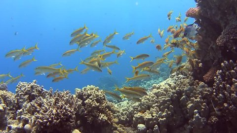 Shoal of yellowfin goatfish swimming on a tropical coral reef with blue water background
