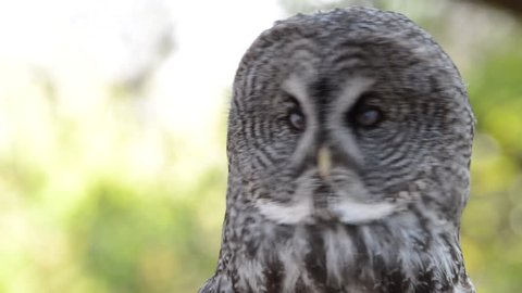 Close up HD Video of one Great Grey Owl looking around listening to environment. The Great Grey Owl is a very large owl, documented as the world's largest species of owl by length.