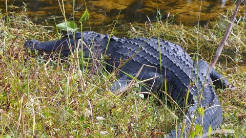 Alligator in the wild on the bank