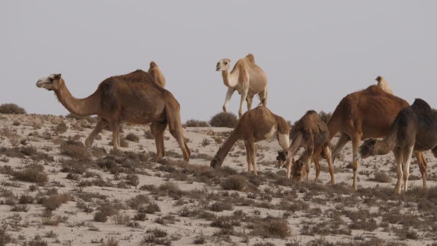 petite-camels-oceans