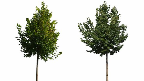 High quality 10bit footage of trees on the wind isolated on white background.  Perfect for compositing. Made from 14bit RAW