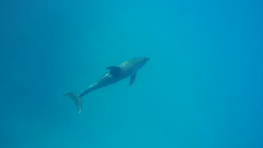 Bottlenose dolphins swim swims in the blue water - free animals in the ocean #1017850261