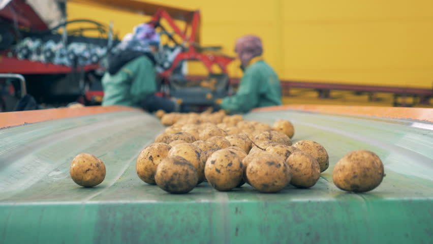 Dug-out potatoes are falling from the transporter after sorting. Harvesting concept. | Shutterstock HD Video #1018071931