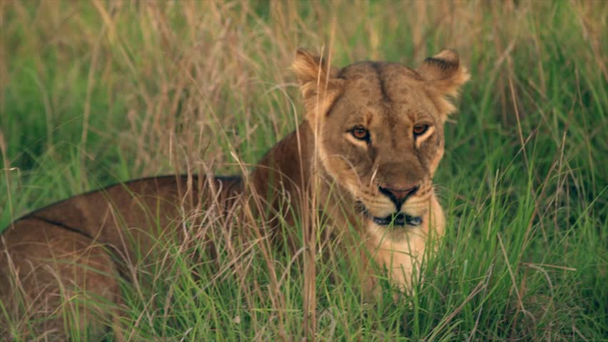 Medium and wide-angle shot of lioness and cubs in Uganda, Africa | Shutterstock HD Video #1018164481