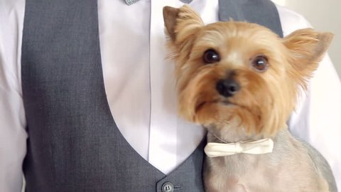 little dog on the hands of the bridegroom with a bow on the neck.