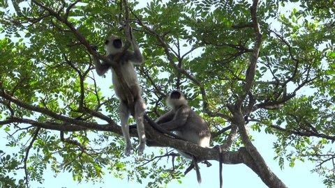 Tufted gray langur monkeys relaxing in the shade up tree in Tissamaharama, Sri Lanka