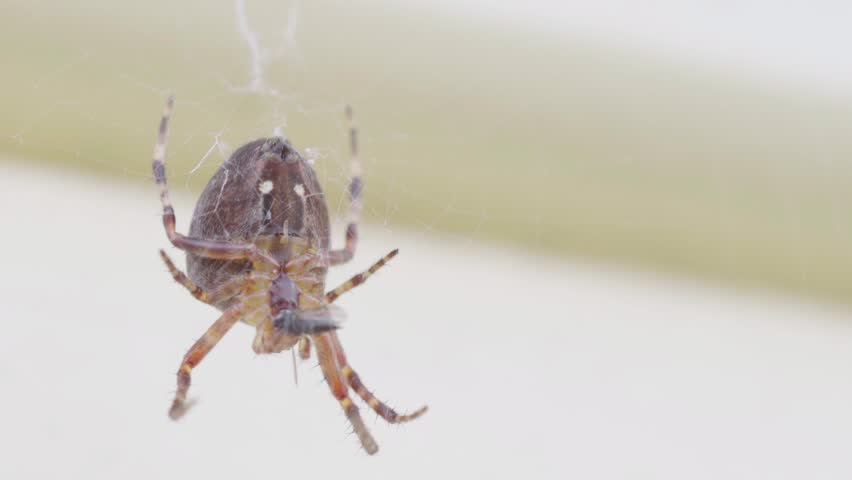 Brown spider waits in her web for prey | Shutterstock HD Video #1018182661