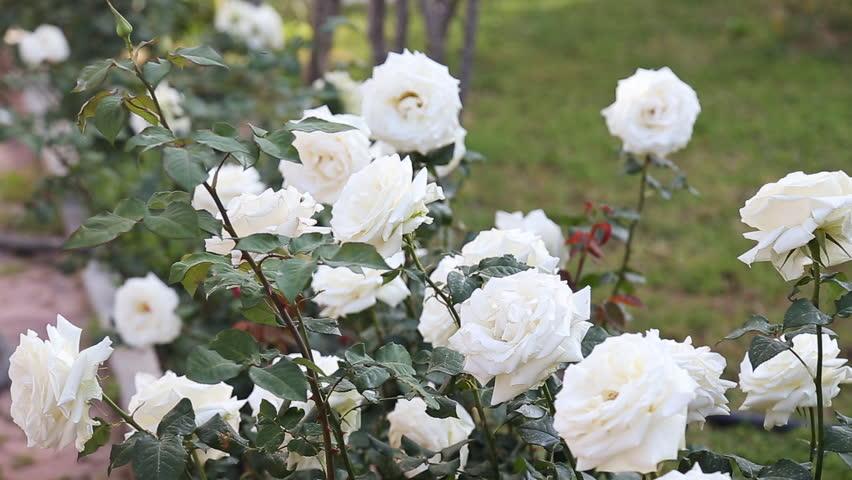 White Garden Rose Bush white roses blossom in natural garden. fresh white rose flowers
